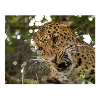 LeopardCheetaro009 Postcard