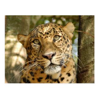 LeopardCheetaro013 Postcard