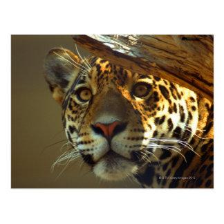 leopardo 2 tarjetas postales