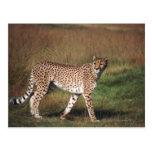 leopardo 3 tarjetas postales
