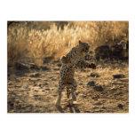 Leopardo africano en las piernas traseras, postal