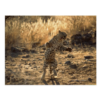 Leopardo africano en las piernas traseras, postales