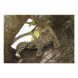 Leopardo africano, pardus del Panthera, en un árbo Fotografías