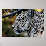 Leopardo - animal posters