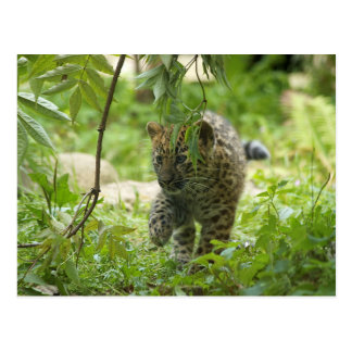 Leopardo Cub de Amur Tarjetas Postales