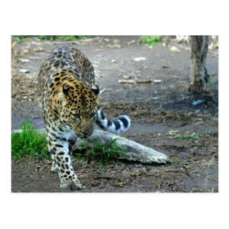 Leopardo de Amur Tarjeta Postal