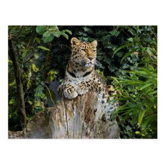 Leopardo de Amur Tarjetas Postales