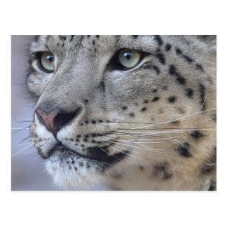 Leopardo de nieve postales