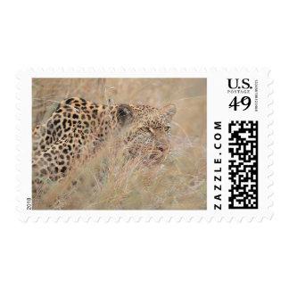 Leopardo de vagabundeo que oculta en prado timbres postales