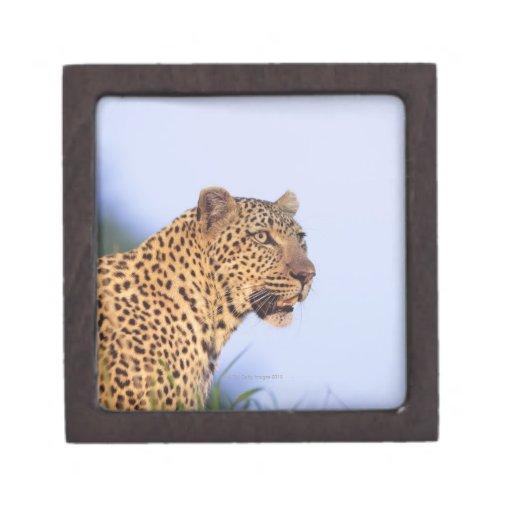 Leopardo del varón adulto (pardus del Panthera) Cajas De Regalo De Calidad