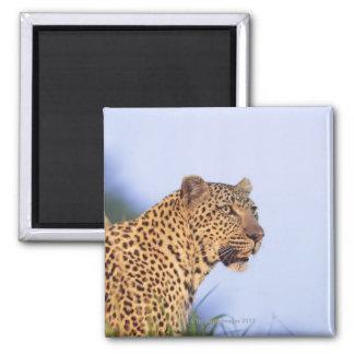 Leopardo del varón adulto (pardus del Panthera), Imán Cuadrado