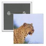 Leopardo del varón adulto (pardus del Panthera) Pin Cuadrado
