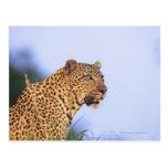 Leopardo del varón adulto (pardus del Panthera) Postales