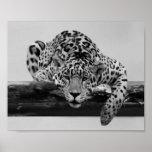 Leopardo en blanco y negro impresiones