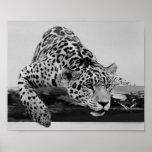 Leopardo en blanco y negro posters