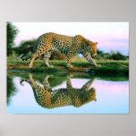 Leopardo en el agua posters