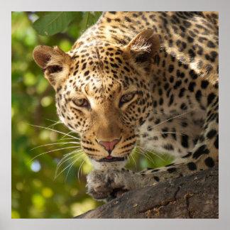 Leopardo en un árbol posters