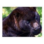Leopardo/fase negra postales