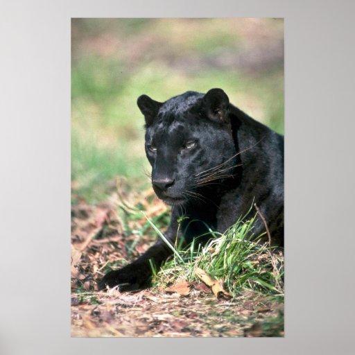 Leopardo, fase negra poster