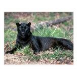Leopardo, fase negra tarjeta postal
