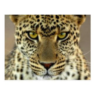 Leopardo feroz postales
