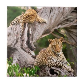 Leopardo maduro (Panthera Pardus) Cub Azulejo Cuadrado Pequeño