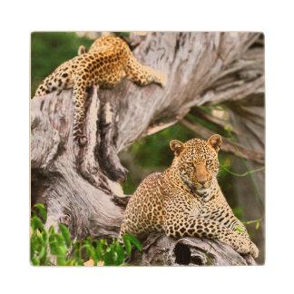 Leopardo maduro (Panthera Pardus) Cub Posavasos De Arce