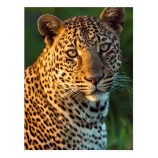 Leopardo masculino (Panthera Pardus) Cub maduro Tarjetas Postales