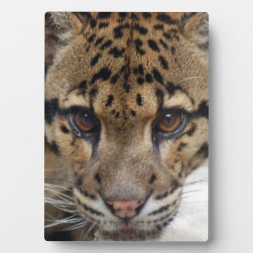 leopardo nublado 6 placas de plastico