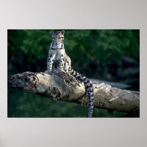 Leopardo nublado que se sienta en registro sobre e impresiones