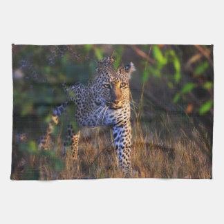 Leopardo (Panthera Pardus) como se ve en el Masai Toallas
