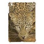 Leopardo, pardus del Panthera, bebiendo de a
