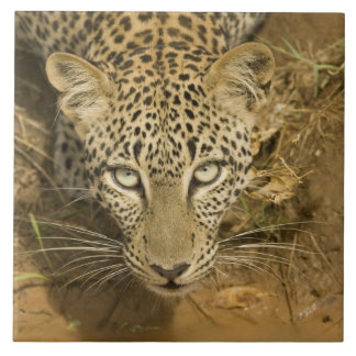Leopardo, pardus del Panthera, bebiendo de a Azulejo Cuadrado Grande