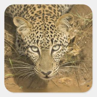 Leopardo, pardus del Panthera, bebiendo de a Pegatina Cuadrada
