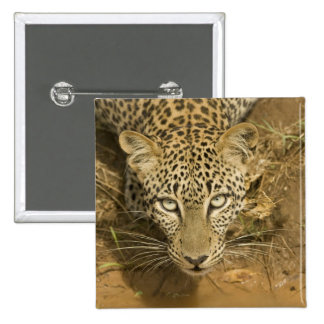 Leopardo, pardus del Panthera, bebiendo de a Pin Cuadrado