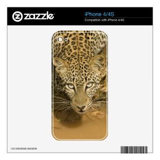 Leopardo, pardus del Panthera, bebiendo de a Skin Para El iPhone 4