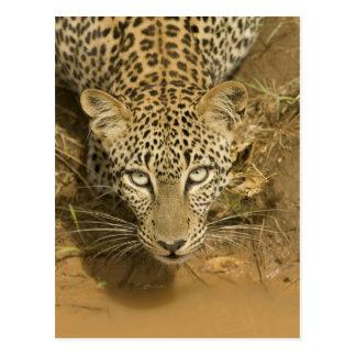 Leopardo, pardus del Panthera, bebiendo de a Tarjetas Postales