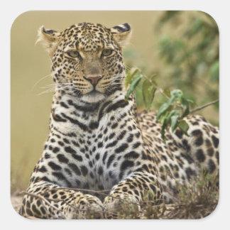 Leopardo, pardus del Panthera. Juego de Mara del Calcomanía Cuadradas