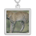 Leopardo, (pardus del Panthera), Kenia, Masai Mara Colgante Cuadrado