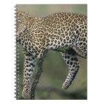 Leopardo, (pardus del Panthera), Kenia, Masai Mara Libreta Espiral