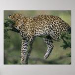 Leopardo, (pardus del Panthera), Kenia, Masai Mara Poster