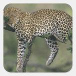 Leopardo, (pardus del Panthera), Kenia, Masai Mara Pegatina Cuadrada