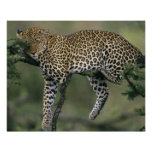 Leopardo, (pardus del Panthera), Kenia, Masai Mara Póster