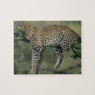 Leopardo, (pardus del Panthera), Kenia, Masai Mara Rompecabeza