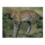 Leopardo, (pardus del Panthera), Kenia, Masai Mara Postal