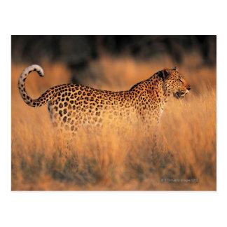 Leopardo (pardus del Panthera) Tarjetas Postales