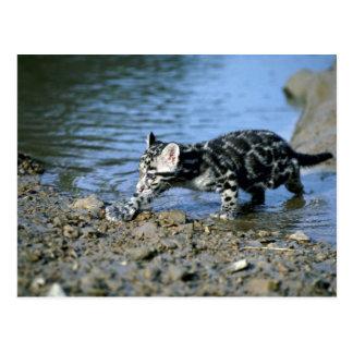 Leopardo-pequeño cachorro nublado que camina a tra tarjeta postal