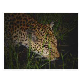 Leopardo que bebe en las postales salvajes del saf
