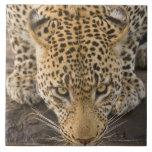 Leopardo que bebe, mayor parque nacional de Kruger Azulejo