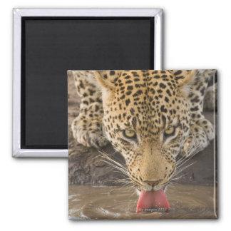 Leopardo que bebe, mayor parque nacional de Kruger Iman Para Frigorífico